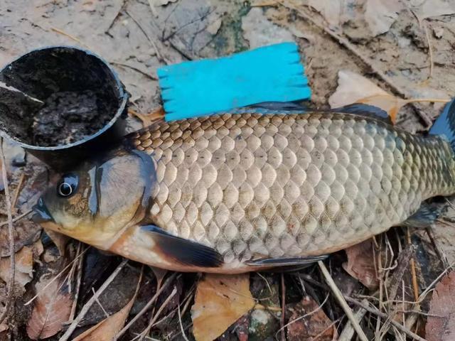 鲫鱼的宿命,上万条的繁殖能力,却因自身5大优势,数量骤降