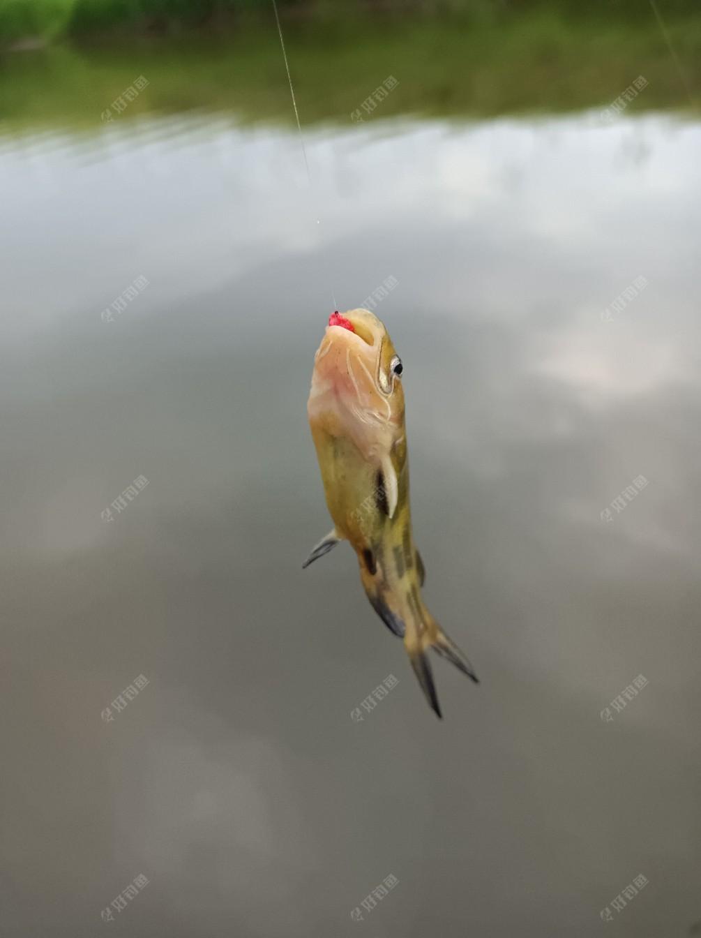 第二尾黄鸭叫