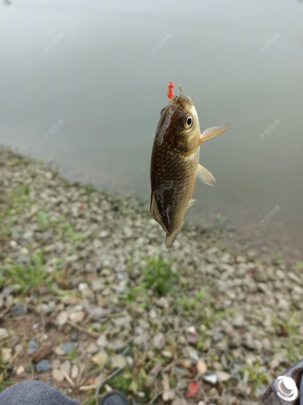 这样的鲫鱼还是很爽歪歪的。