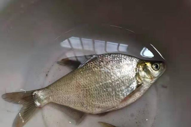 二十年了,这套鳊鱼钓法始终很管用