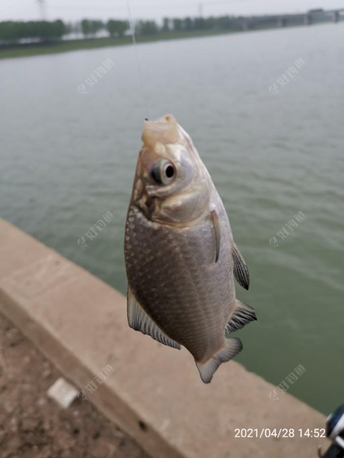 两把重的鲫鱼还可以,休竿二十多天才见到鱼