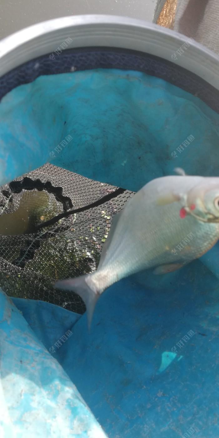 还有个小鳊鱼