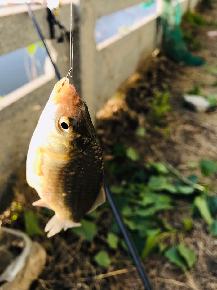 又一条鲫鱼上岸了,坐下来摘钩放入鱼护网中。