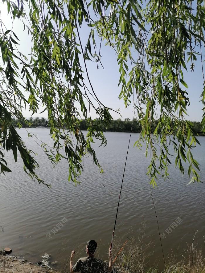 汾河的柳叶,在南风的吹拂下,摇曳飘荡。钓友挥杆垂钓,今天一下来,我就先给钓友留念。