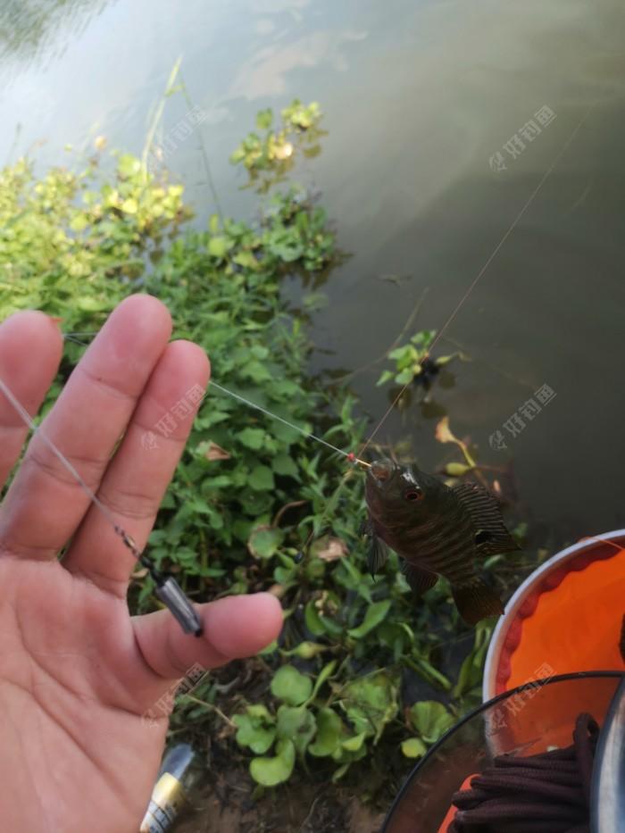 无倒刺钩快速摘鱼手法,刷小鱼必备技巧。