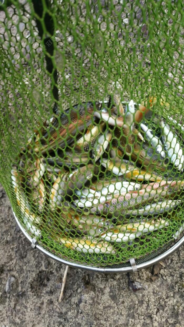 最终鱼获1斤半左右吧,下次换钩换漂继续盘它。
