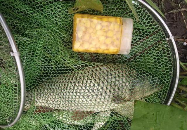 鲜玉米做钓饵这样加工一下,鱼爱吃又方便携带
