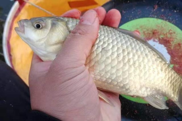 夏钓,饵料按我说的用,鲫鲤鱼钓了一条又一条