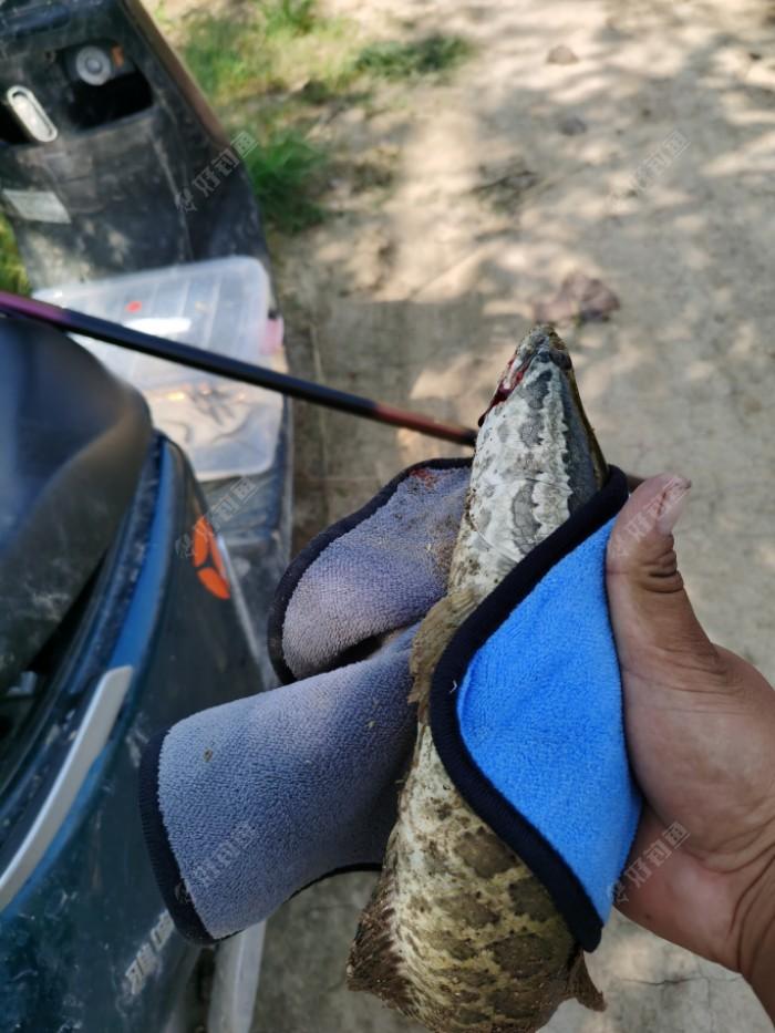 我采用的是泥鳅挂背,钩是雷蛙取下来的双钩,泥鳅水产市场可以买到个体不要太大,中等就可以了,可以小,不可以太大以防黑鱼进口受阻,