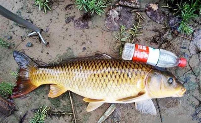 秋季钓鲤鱼的四大秘诀:选阴天,钓坡坎,用腥饵,调躺底