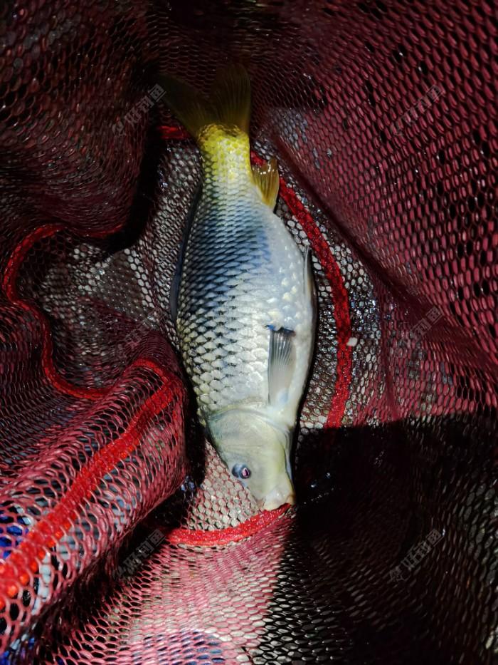 假期最后一天晚上,最后一颗饵料上的收杆鱼