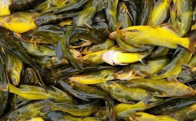 黄颡鱼的三种经典钓法