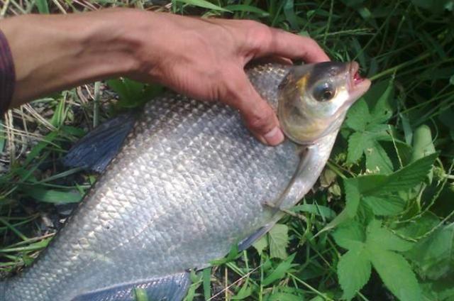鳊鱼喜欢在什么地方,如何钓鳊鱼更好
