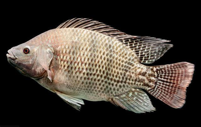 罗非鱼爱谈恋爱,钓鱼人利用此特性,将其一窝端