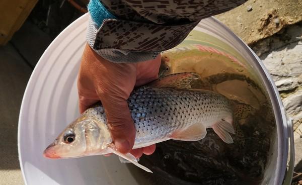 这种鱼俗称鸡腿子,很少见,多数钓友没钓过