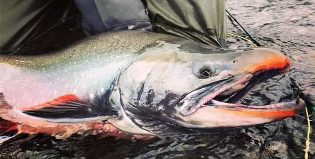 什么是大马哈鱼?为什么它一直在奔波,洄游意义是啥